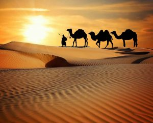 Camel's humps are made up of fat.